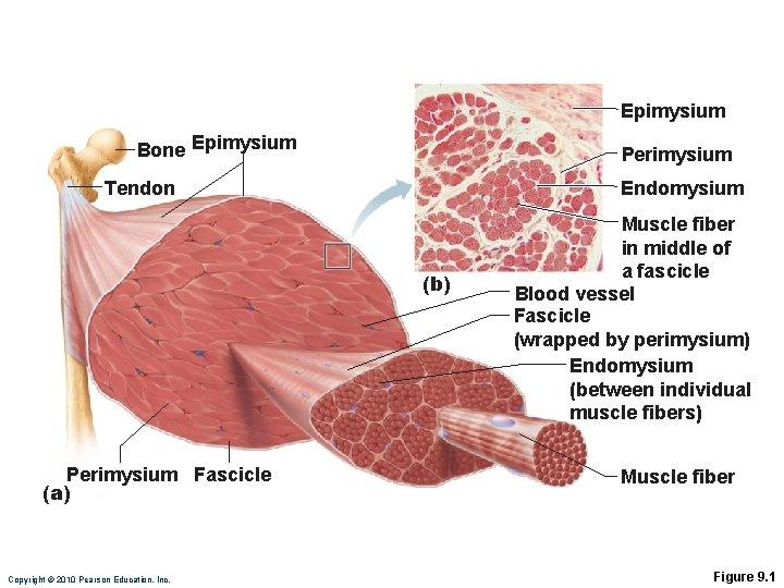 Epimysium Bone Epimysium Perimysium Endomysium Tendon (b) Perimysium Fascicle (a) Copyright © 2010 Pearson