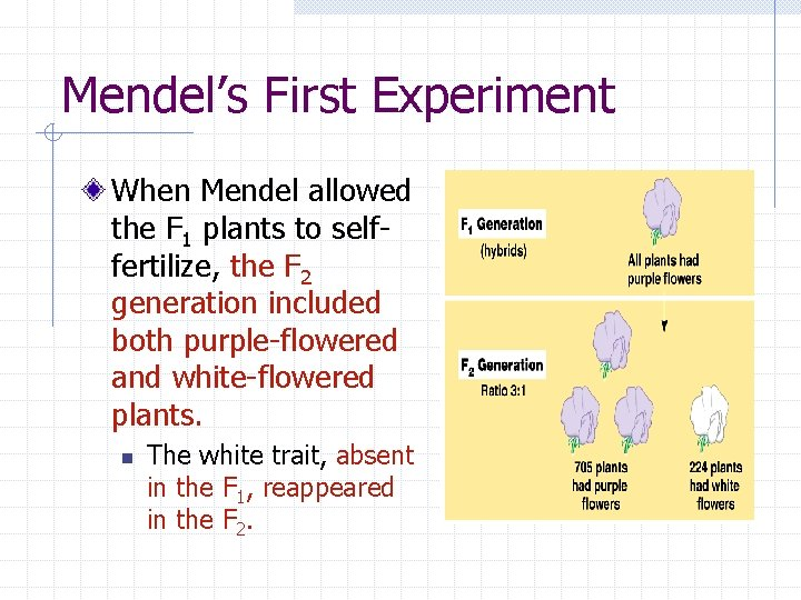 Mendel's First Experiment When Mendel allowed the F 1 plants to selffertilize, the F