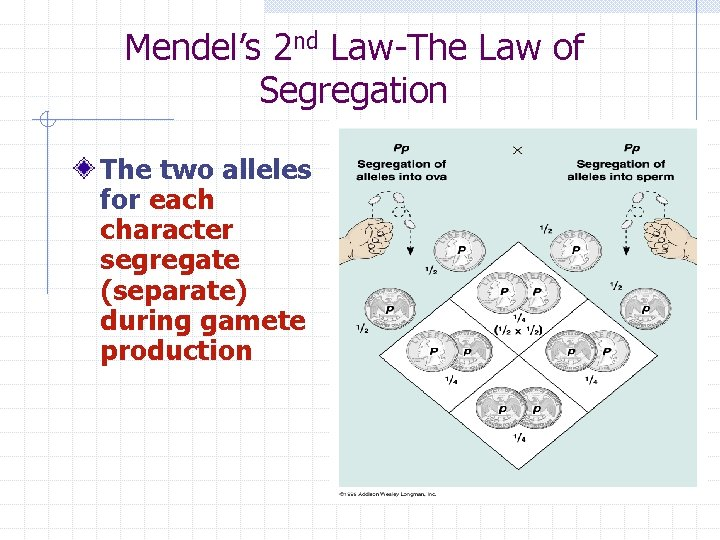 Mendel's 2 nd Law-The Law of Segregation The two alleles for each character segregate