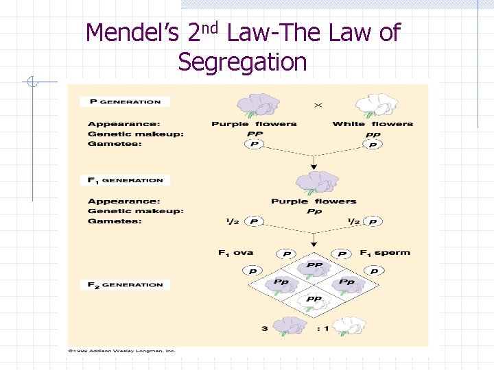 Mendel's 2 nd Law-The Law of Segregation