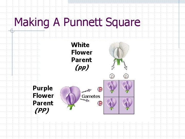Making A Punnett Square White Flower Parent (pp) p Purple Flower Parent (PP) P
