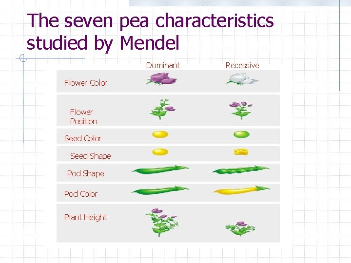 The seven pea characteristics studied by Mendel Dominant Flower Color Flower Position Seed Color