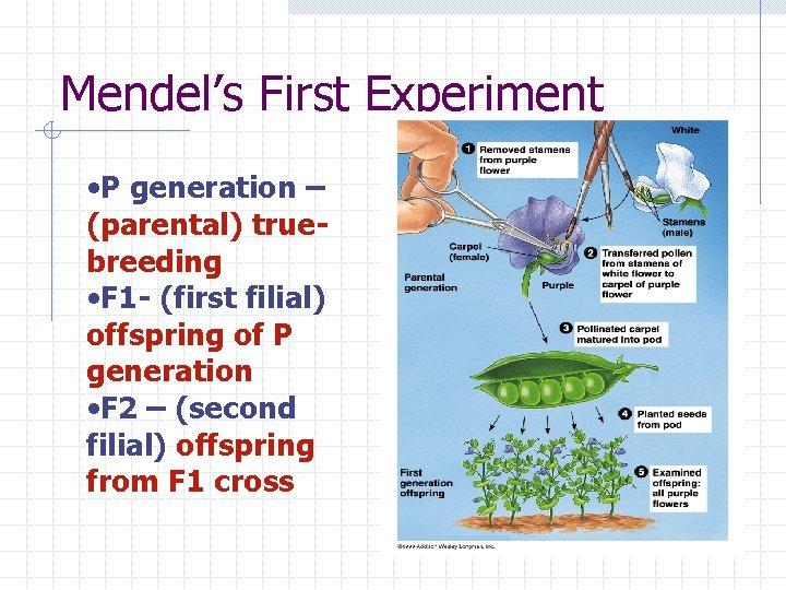 Mendel's First Experiment • P generation – (parental) truebreeding • F 1 - (first