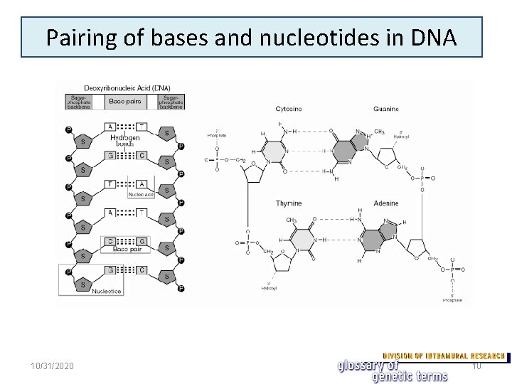 Pairing of bases and nucleotides in DNA 10/31/2020 10