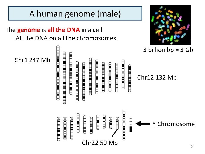 A human genome (male) The genome is all the DNA in a cell. All