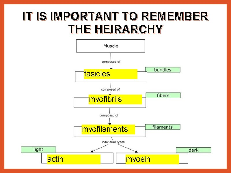 IT IS IMPORTANT TO REMEMBER THE HEIRARCHY fasicles myofibrils myofilaments actin myosin