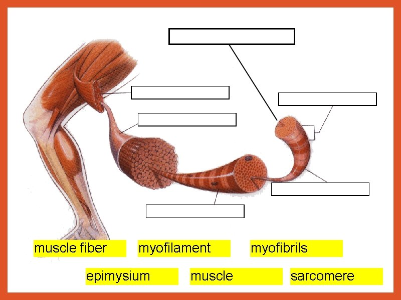 muscle fiber myofilament epimysium muscle myofibrils sarcomere