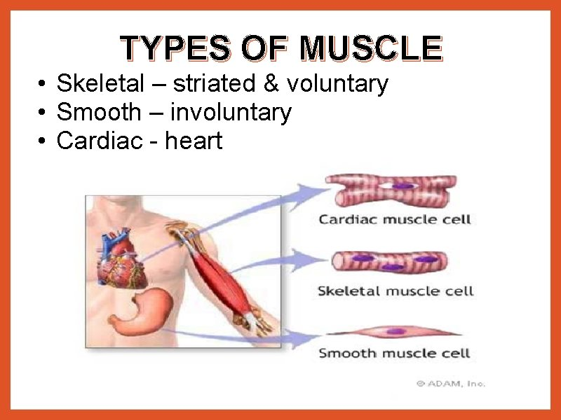 TYPES OF MUSCLE • Skeletal – striated & voluntary • Smooth – involuntary •