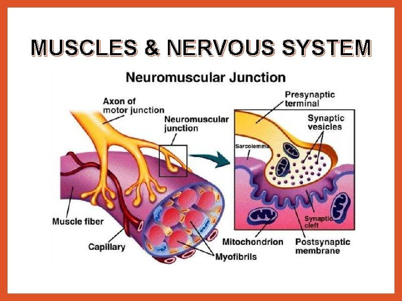 MUSCLES & NERVOUS SYSTEM