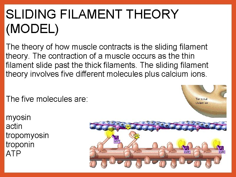 SLIDING FILAMENT THEORY (MODEL) The theory of how muscle contracts is the sliding filament