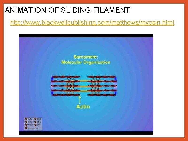 ANIMATION OF SLIDING FILAMENT http: //www. blackwellpublishing. com/matthews/myosin. html