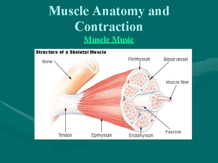 Muscle Anatomy and Contraction Muscle Music