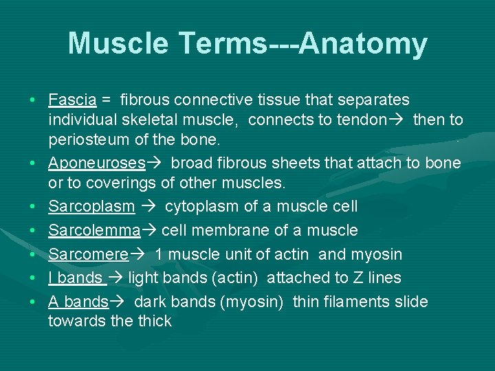 Muscle Terms---Anatomy • Fascia = fibrous connective tissue that separates individual skeletal muscle, connects