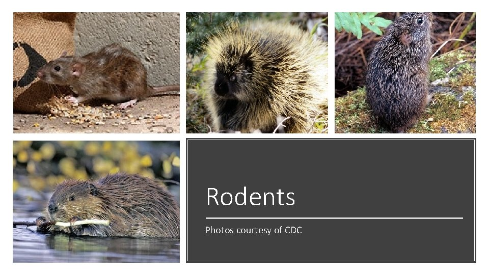 Rodents Photos courtesy of CDC