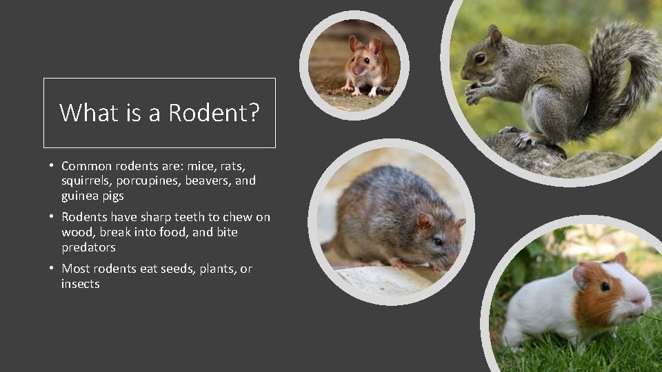 What is a Rodent? • Common rodents are: mice, rats, squirrels, porcupines, beavers, and