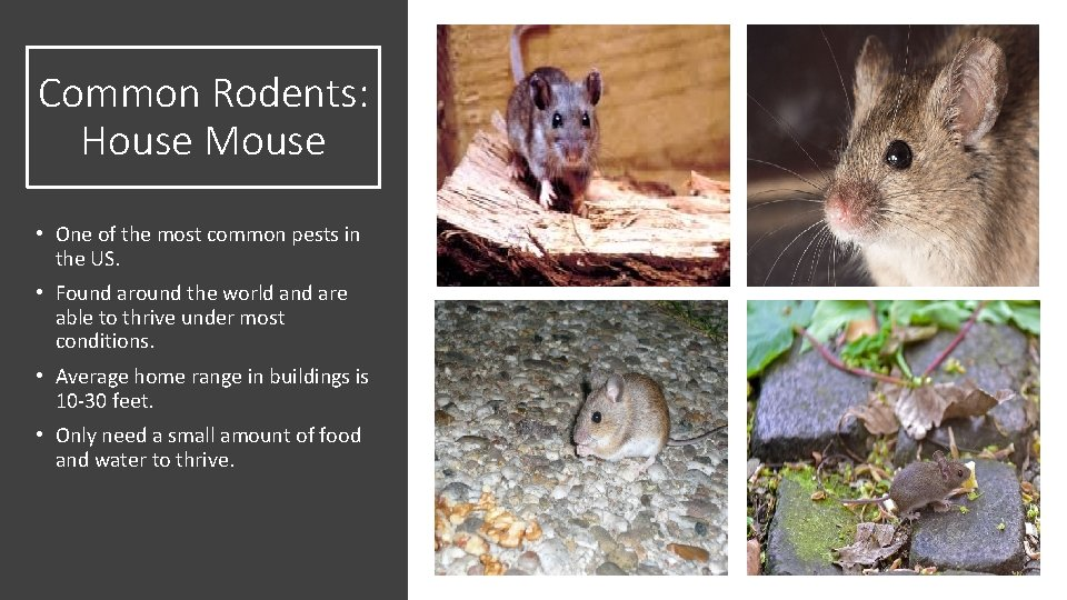 Common Rodents: House Mouse • One of the most common pests in the US.