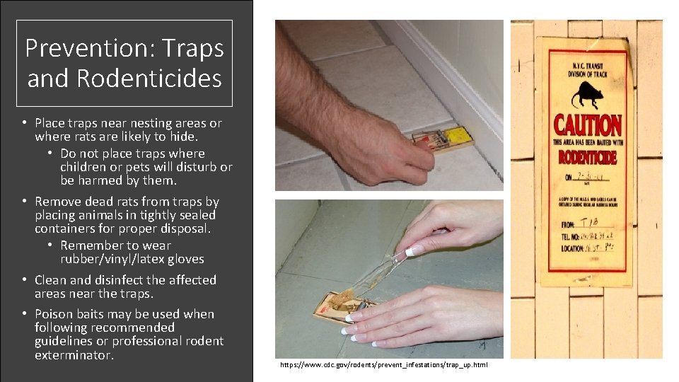 Prevention: Traps and Rodenticides • Place traps near nesting areas or where rats are