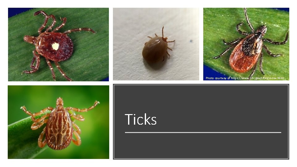 Photo courtesy of https: //www. cdc. gov/ticks/index. html Ticks