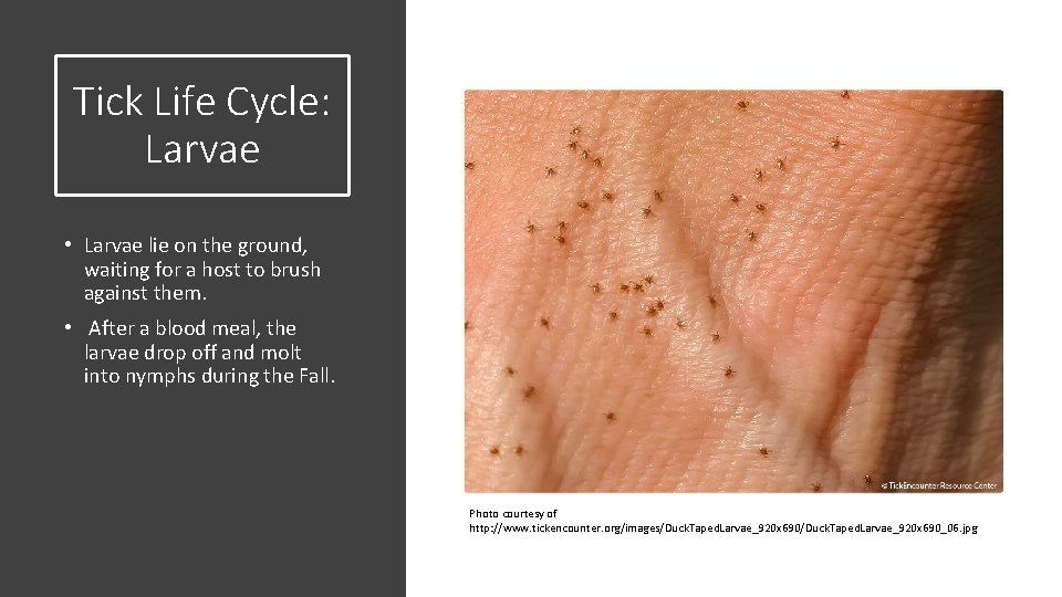 Tick Life Cycle: Larvae • Larvae lie on the ground, waiting for a host