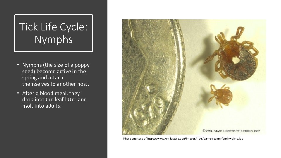 Tick Life Cycle: Nymphs • Nymphs (the size of a poppy seed) become active