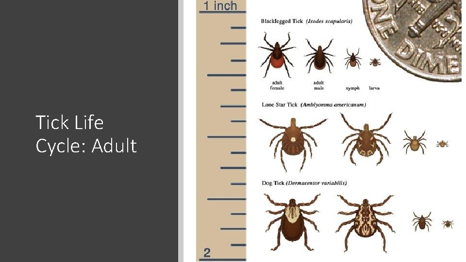 Tick Life Cycle: Adult