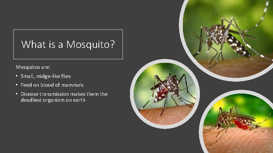 What is a Mosquito? Mosquitos are: • Small, midge-like flies • Feed on blood