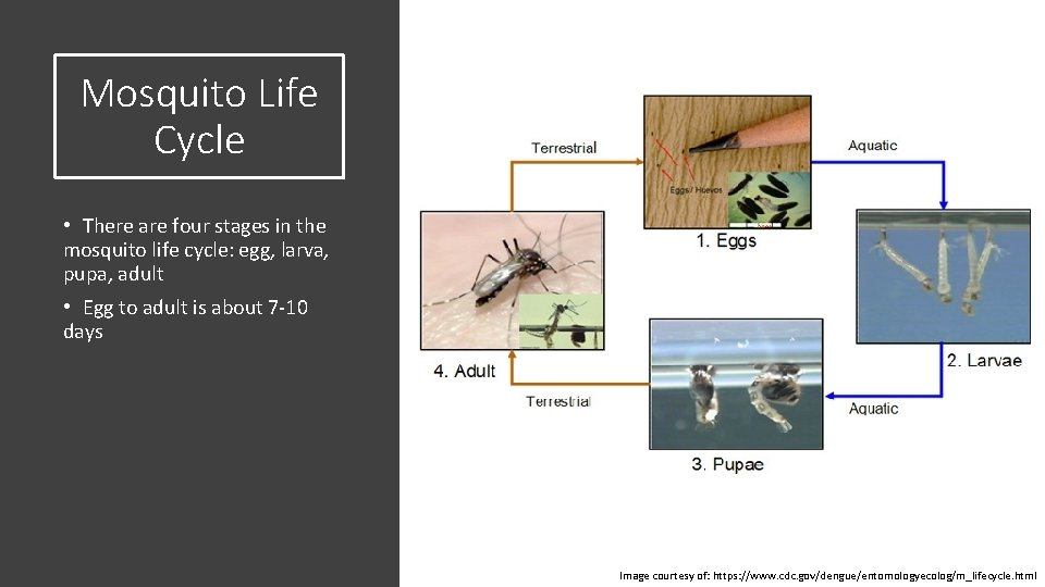Mosquito Life Cycle • There are four stages in the mosquito life cycle: egg,