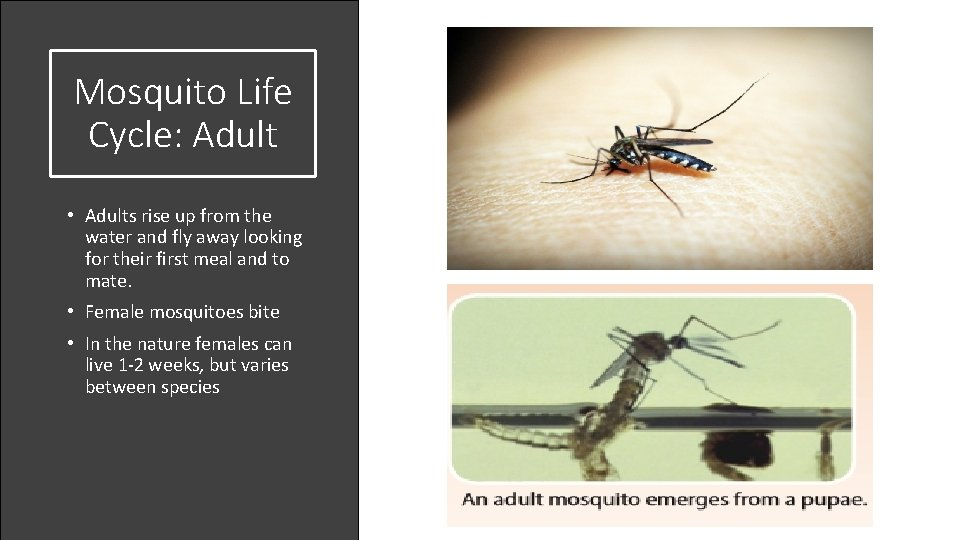 Mosquito Life Cycle: Adult • Adults rise up from the water and fly away