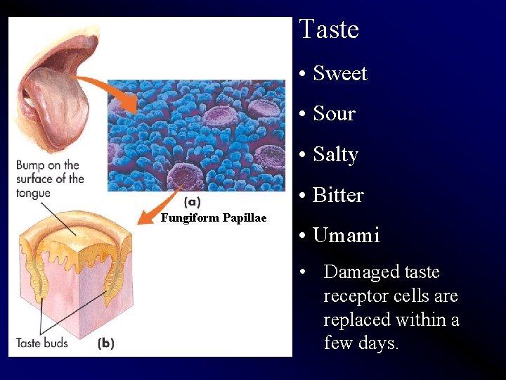 Taste • Sweet • Sour • Salty • Bitter Fungiform Papillae • Umami •