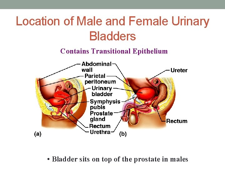 Location of Male and Female Urinary Bladders Contains Transitional Epithelium • Bladder sits on
