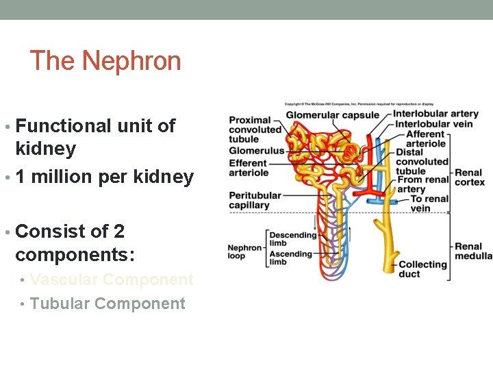 The Nephron • Functional unit of kidney • 1 million per kidney • Consist
