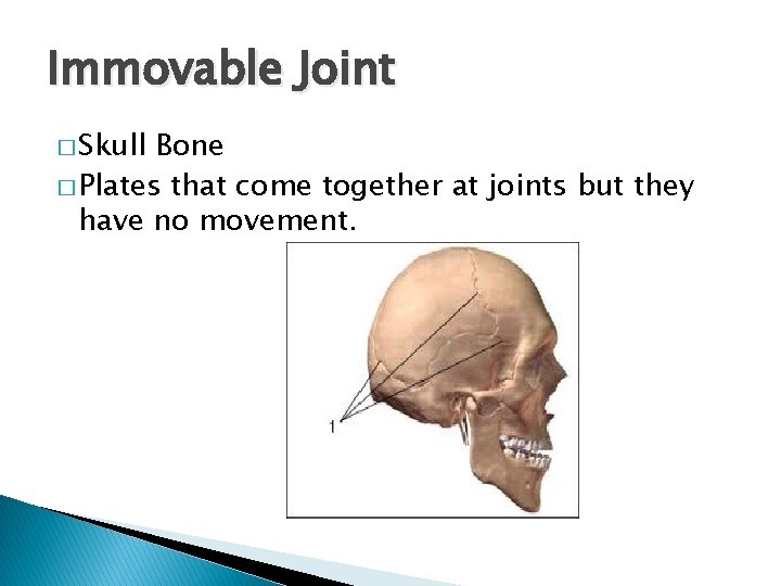 Immovable Joint � Skull Bone � Plates that come together at joints but they