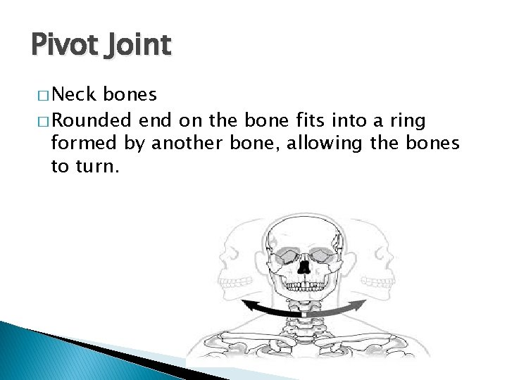 Pivot Joint � Neck bones � Rounded end on the bone fits into a