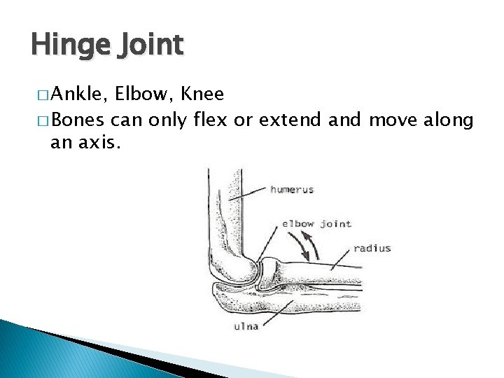 Hinge Joint � Ankle, Elbow, Knee � Bones can only flex or extend and