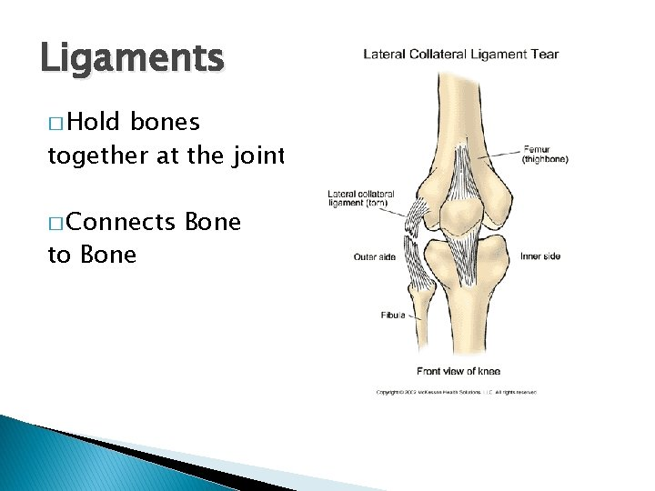 Ligaments � Hold bones together at the joints � Connects to Bone