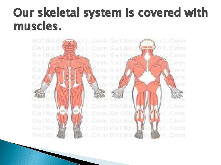 Our skeletal system is covered with muscles.