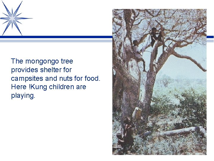 The mongongo tree provides shelter for campsites and nuts for food. Here !Kung children
