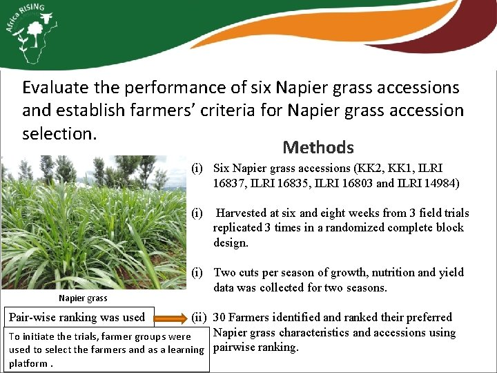 Evaluate the performance of six Napier grass accessions and establish farmers' criteria for Napier