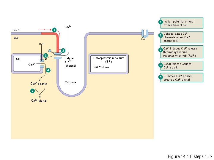 Ca 2+ 1 ECF 1 Action potential enters from adjacent cell. 2 ICF Ry.