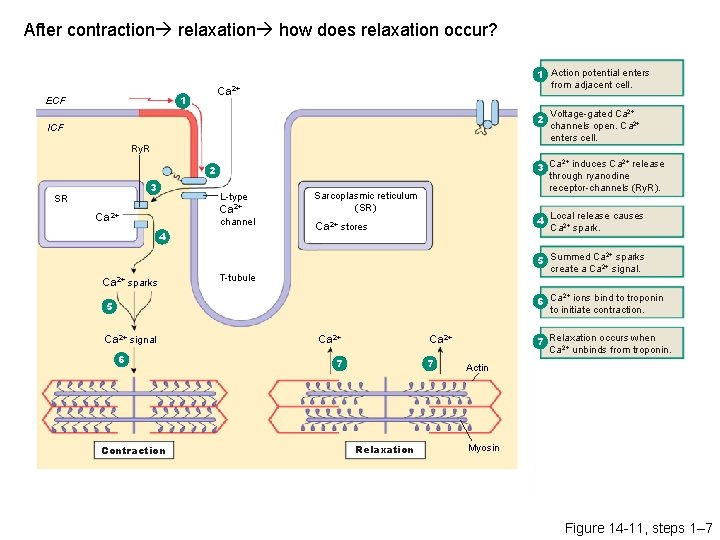 After contraction relaxation how does relaxation occur? Ca 2+ 1 ECF 1 Action potential