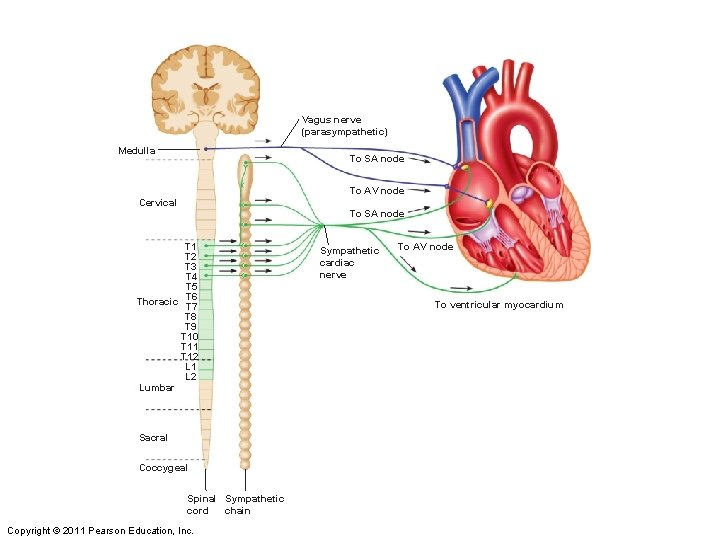 Vagus nerve (parasympathetic) Medulla To SA node To AV node Cervical To SA node