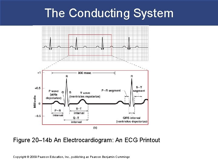 The Conducting System Figure 20– 14 b An Electrocardiogram: An ECG Printout Copyright ©