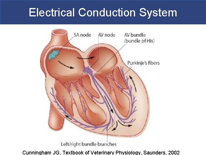 Electrical Conduction System Cunningham JG, Textbook of Veterinary Physiology, Saunders, 2002