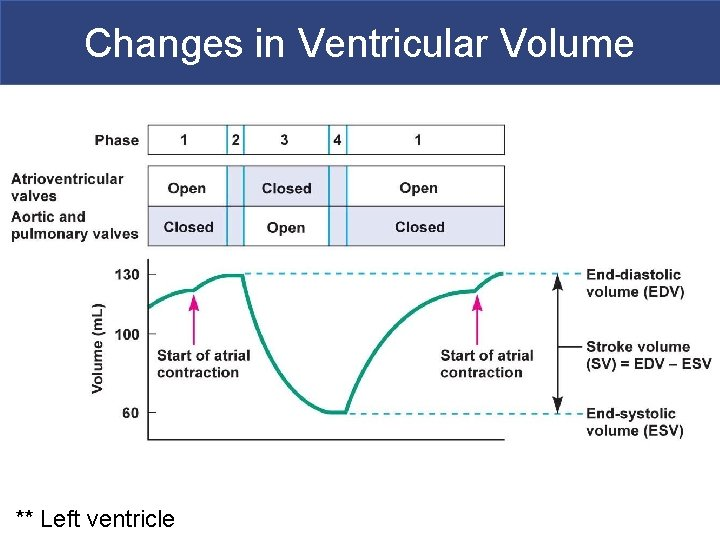 Changes in Ventricular Volume ** Left ventricle Copyright © 2011 Pearson Education, Inc.