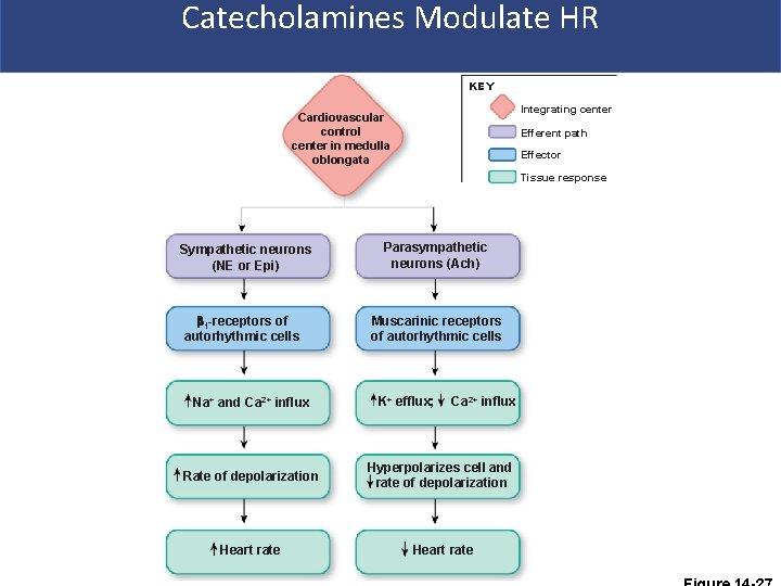 Catecholamines Modulate HR KEY Integrating center Cardiovascular control center in medulla oblongata Efferent path