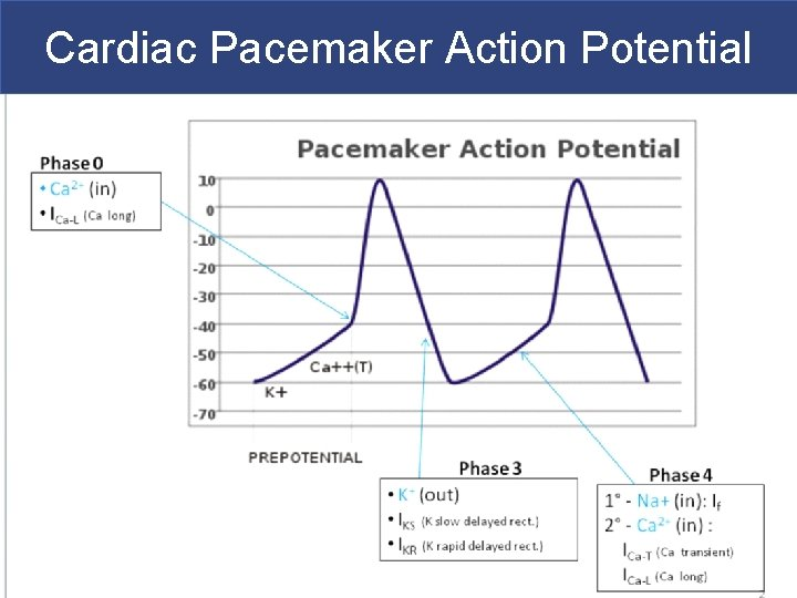 Cardiac Pacemaker Action Potential