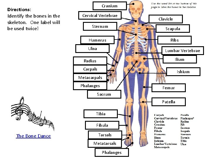 Directions: Identify the bones in the skeleton. One label will be used twice! Cranium