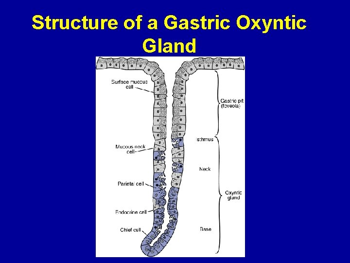 Structure of a Gastric Oxyntic Gland