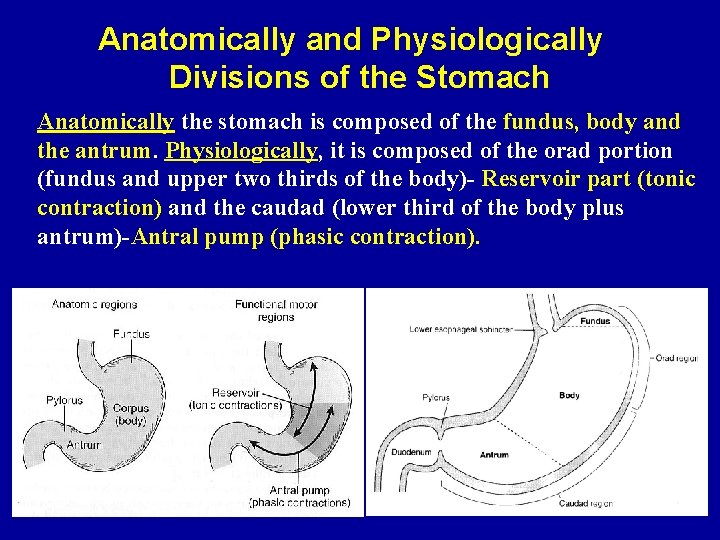 Anatomically and Physiologically Divisions of the Stomach Anatomically the stomach is composed of the