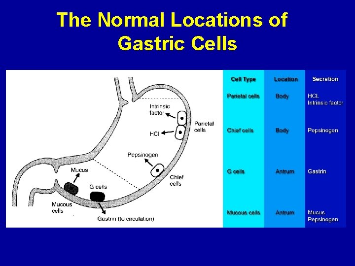 The Normal Locations of Gastric Cells
